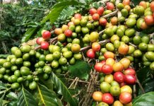 coffee fruit extract